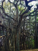 Goa banyan tree
