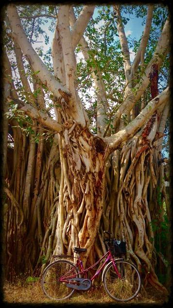 Mysore bicycle banyan tree